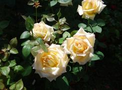 Le rose di Maria Giulia Scolaro